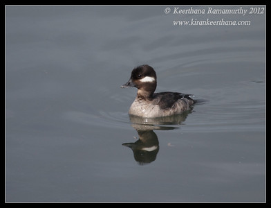Female Bufflehead, Robb Field, San Diego River, San Diego County, California, February 2012