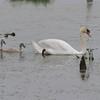 Mute SMute Swan (Cygnus olor) Middleville MI