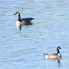 Cackling Goose  (Branta hutchinsii) with Canada Goose, home, Bismarck ND