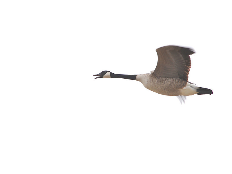 Canada Goose (Branta canadensis) Southport, Bismarck, ND