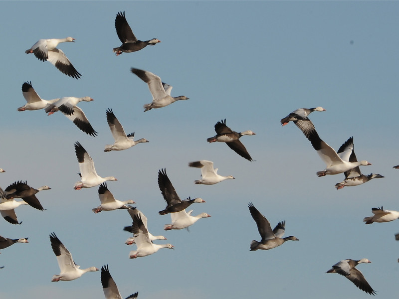 Snow Geese (Chen caerulescens) Pick City ND