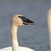 Trumpeter Swan (Cygnus buccinator) Rice Lake NWR, MN