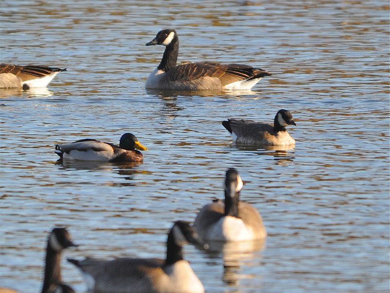 Richardson's Cackling Goose (Branta hutchinsii hutchinsii) with Canada Goose (Branta canadensis) and Mallard (Anas platyrhynchos) Pierre SD