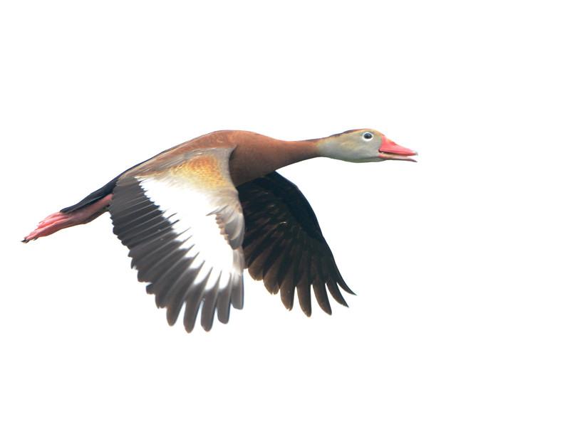Black-bellied Whistling-Duck (Dendrocygna autumnalis) Wakodahatchee Wetlands, Palm Beach County FL