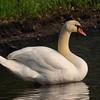 Mute Swan (Cygnus olor) Barry WMA, Barry Co. MI