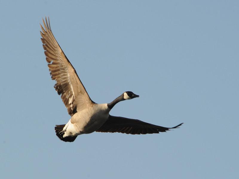 Canada Goose (Branta canadensis) McKenzie Slough ND