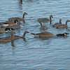 Canada Goose (Branta canadensis) with goslings, home, Bismarck, ND