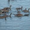 Canada Goose (Branta canadensis) with goslings, home, Bismarck, ND