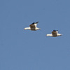Ross's Geese (Chen rossii) Falkirk Mine, Underwood ND