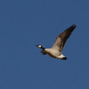 Cackling Goose  (Branta hutchinsii) Falkirk Mine, Underwood ND