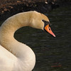 Mute Swan (Cygnus olor) pen, Barry WMA, Barry Co. MI