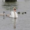 Mute Swan (Cygnus olor) Middleville MI