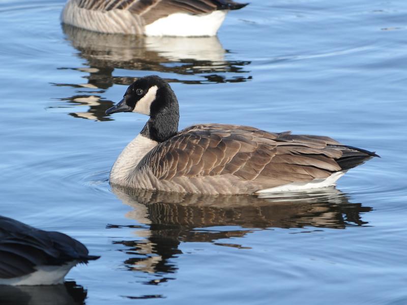 Lesser Canada Goose (Branta canadensis parvipes) Pierre SD