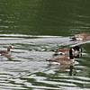 White-fronted Goose (Anser albifrons) and Canada Geese (Branta canadensis) Bismarck ND