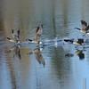 Canada Goose (Branta canadensis) home, Bismarck ND