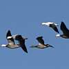 Ross's Goose (Chen rossii) with Blue Geese (Chen caerulescens) Falkirk Mine, Underwood ND