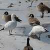 Ross's Goose (Chen rossii) Pocasse NWR, Pollack SD