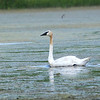 Trumpeter Swan (Cygnus buccinator) Windom, MN