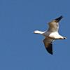 Ross's Goose (Chen rossii) Falkirk Mine, Underwood ND