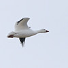 Snow Goose (Chen caerulescens) Falkirk Mine, Underwood ND