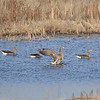 Greater White-fronted Goose (Anser albifrons) ) Fort Pierre National Grassland, Pierre SD