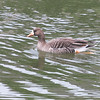 White-fronted Goose (Anser albifrons) Bismarck, ND