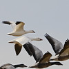 Ross's Goose (Chen rossii) with Snow Goose (Chen caerulescens) Falkirk Mine, Underwood ND