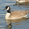 Canada Goose (Branta canadensis) Pierre, SD