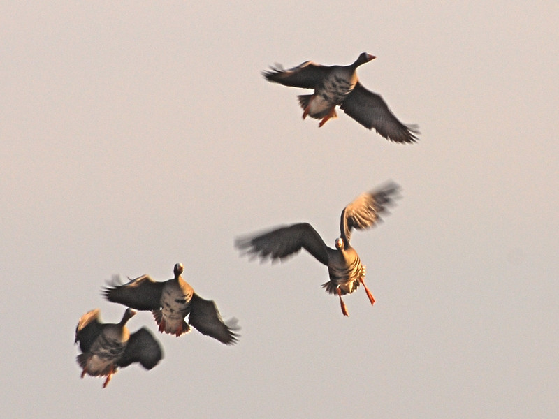 White-fronted Geese (Anser albifrons) Long Lake NWR, ND