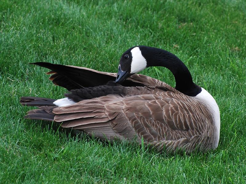 Canada Goose (Branta canadensis) home, Bismarck, ND
