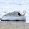 Mute Swan (Cygnus olor) Parker River NWR, Plum Island MA