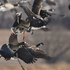 Greater White-fronted Goose (Anser albifrons) ) Pocasse NWR, Pollack SD