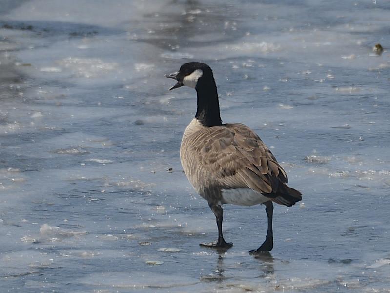 Cackling Goose  (Branta hutchinsii) Pocasse NWR, Pollack SD