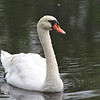 Mute Swan (Cygnus olor) Williamsburg, VA