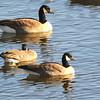 Richardson's Cackling Goose (Branta hutchinsii hutchinsii) with Canada Goose (Branta canadensis) Pierre SD