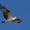 Osprey (Pandeon haliaetus) Fort Myers, FL