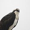 Osprey (Pandion haliaetus) South Padre Island TX