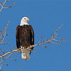 Bald Eagle (Haliaeetus leucocephalus) Bismarck, ND