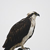 Osprey (Pandion haliaetus) South Padre Island TX