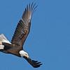 Bald Eagle (Haliaeetus leucocephalus) Bismarck, ND