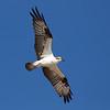 Osprey (Pandeon haliaetus)  Fort Myers, FL