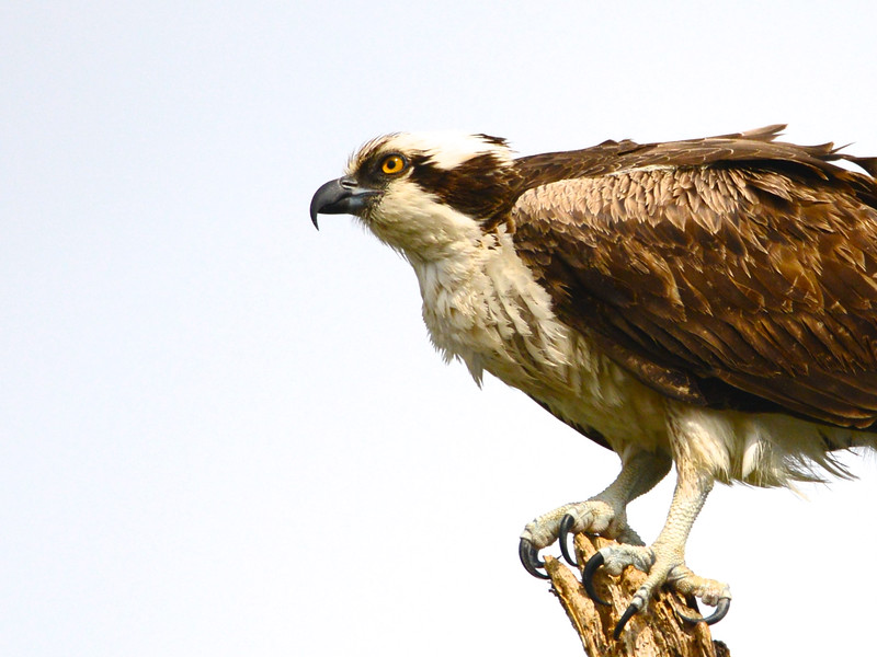 Osprey (Pandion haliaetus) Panama City Beach FL
