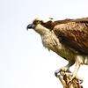 Osprey (Pandion haliaetus) Panama City Beach FL