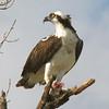 Osprey (Pandeon haliaetus) Everglades NP, FL