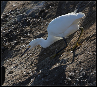 Snowy Egret darting for food, La Jolla Cove, San Diego County, California, October 2011
