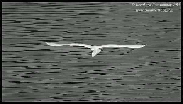 Snowy Egret in monochrome, Robb Field, San Diego River, San Diego County, California, February 2014
