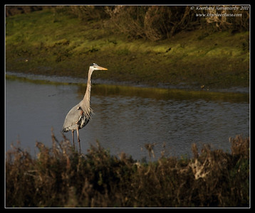 Great blue heron, Bolsa Chica Ecological Reserve, Orange County, California, February 2011