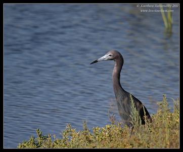 Little Blue Heron, Robb Field, San Diego County, California, July 2011