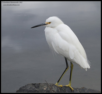 Snowy Egret, Robb Field, San Diego River, San Diego County, California, February 2012