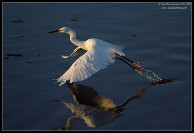 Snowy Egret in the evening light, Robb Field, San Diego County, California, November 2011